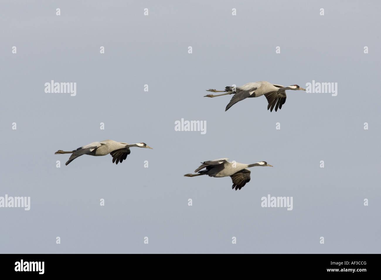common crane (Grus grus), flying, Sweden, Hornborgasjoen - Stock Image