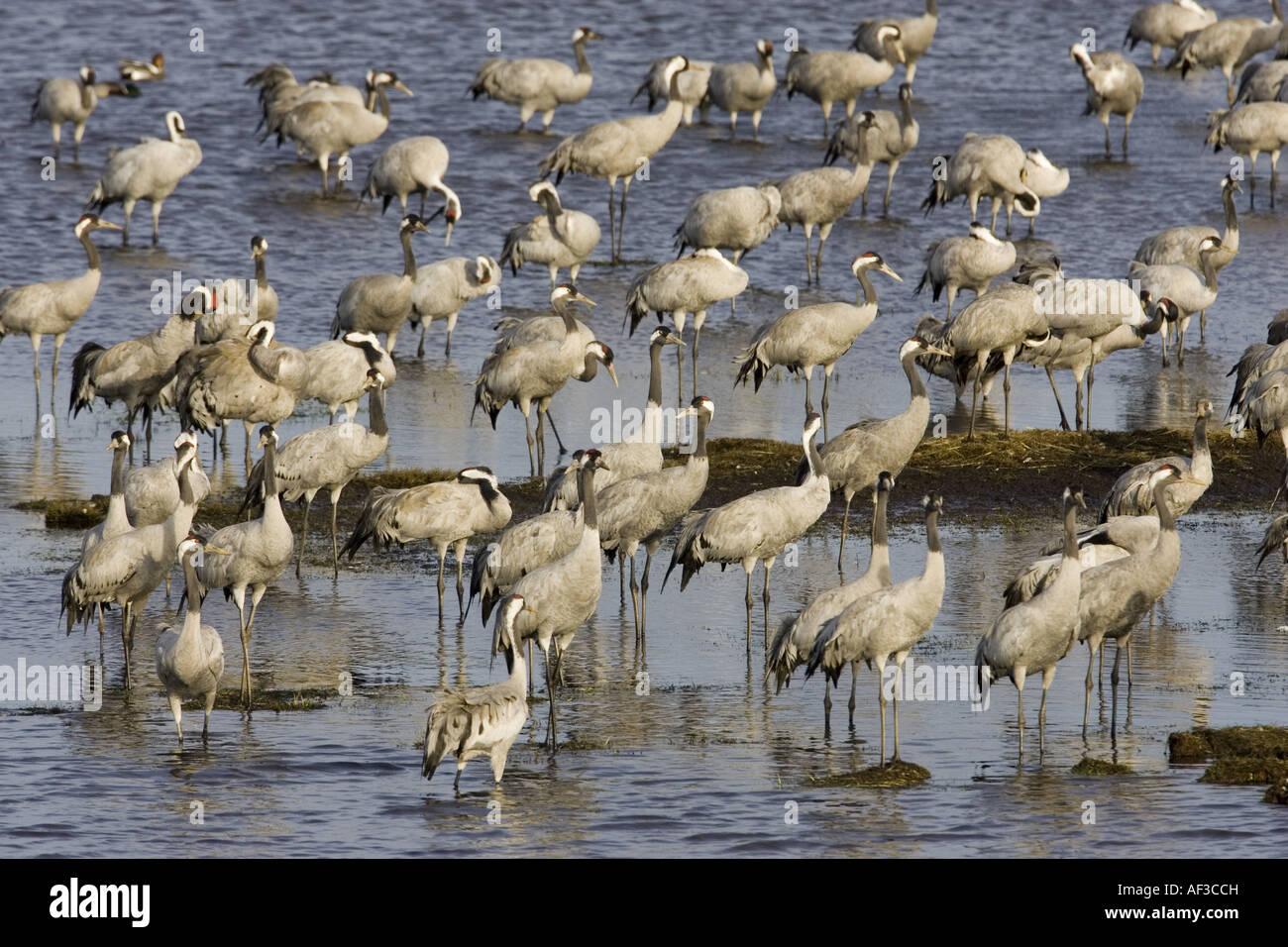 common crane (Grus grus), flock standing in water, Sweden, Hornborgasjoen - Stock Image