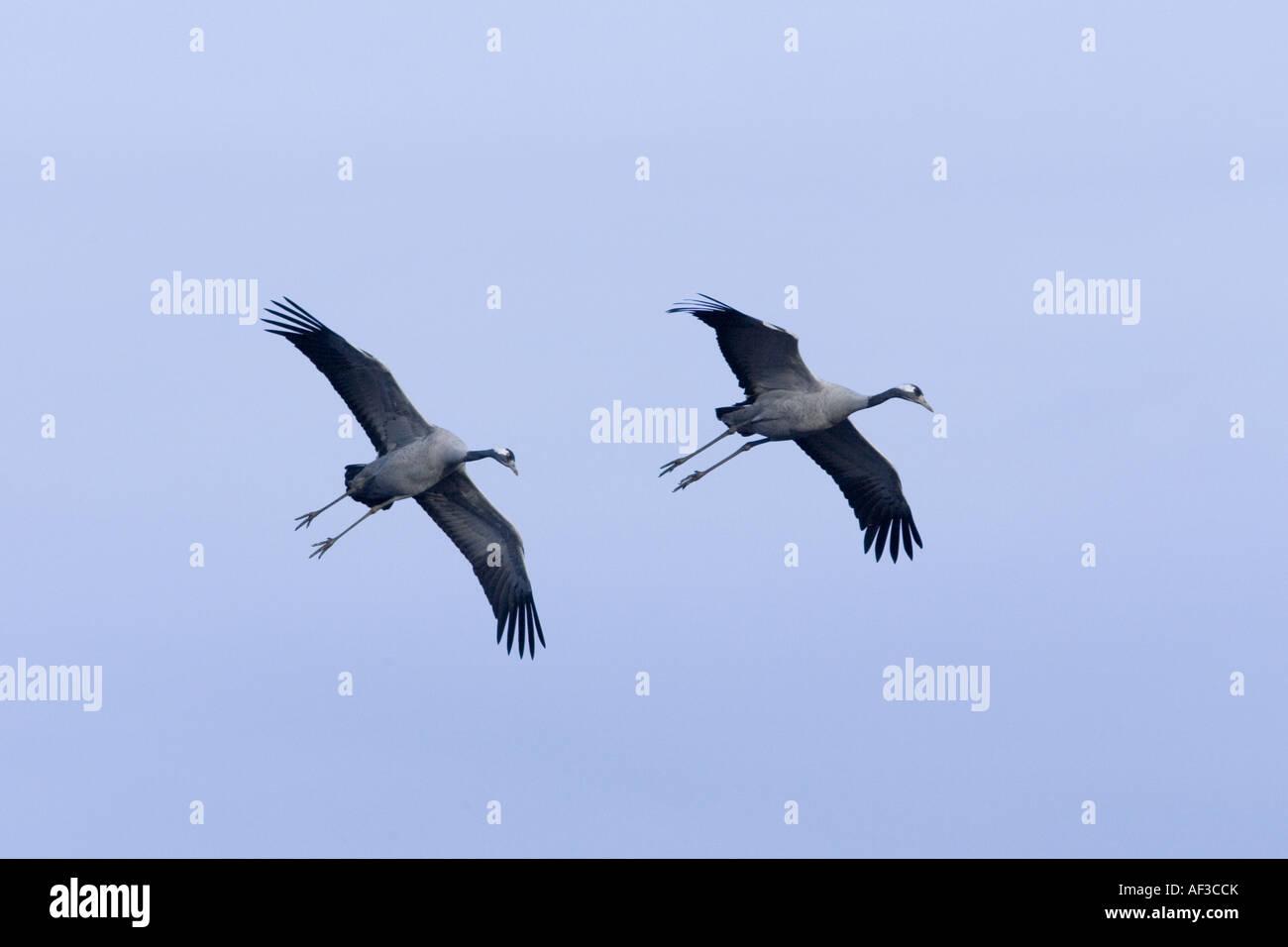 common crane (Grus grus), flying couple, Sweden, Hornborgasjoen - Stock Image
