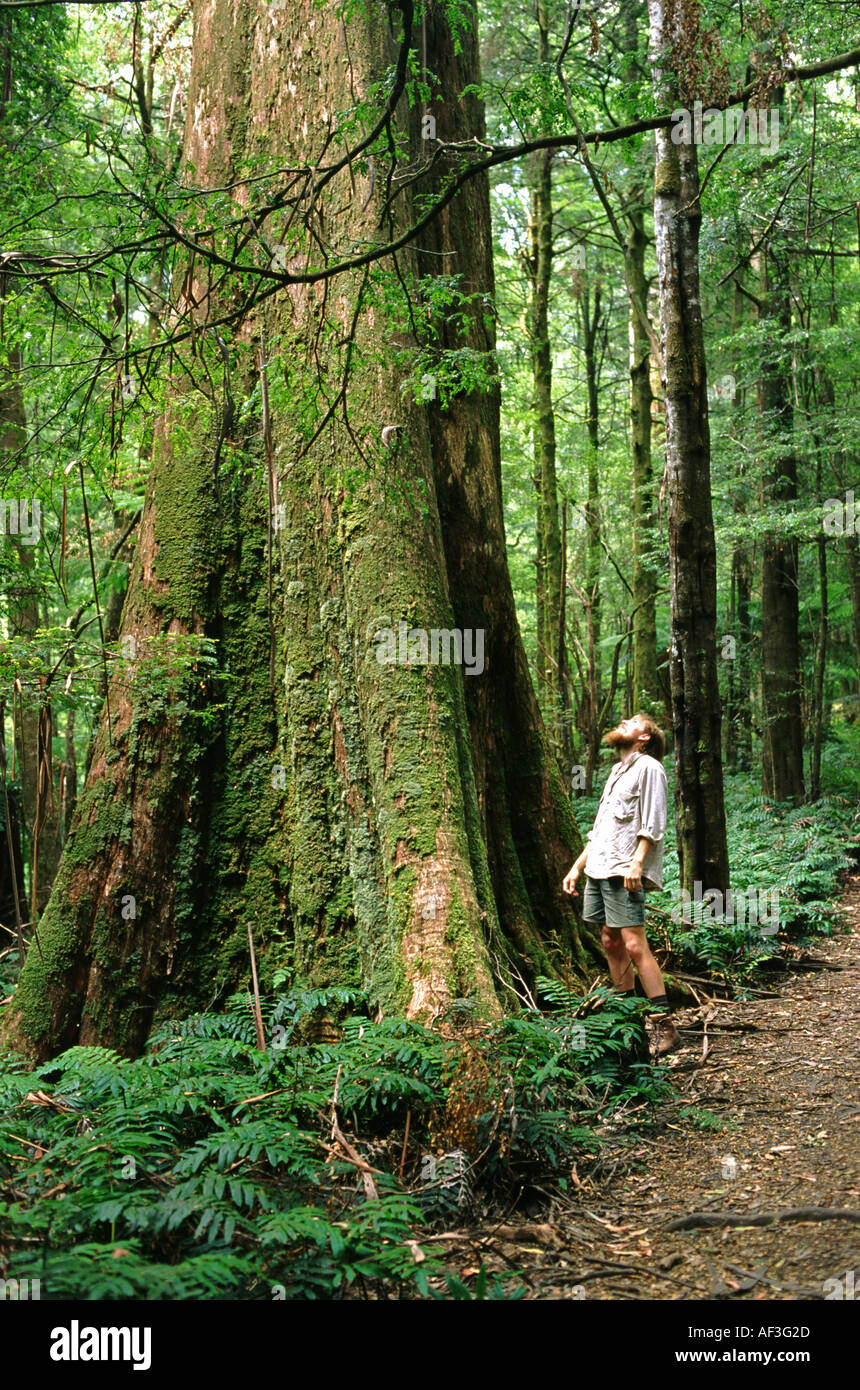Man looking up at giant Mountain Ash tree Eucalyptus regnans in forest - Stock Image