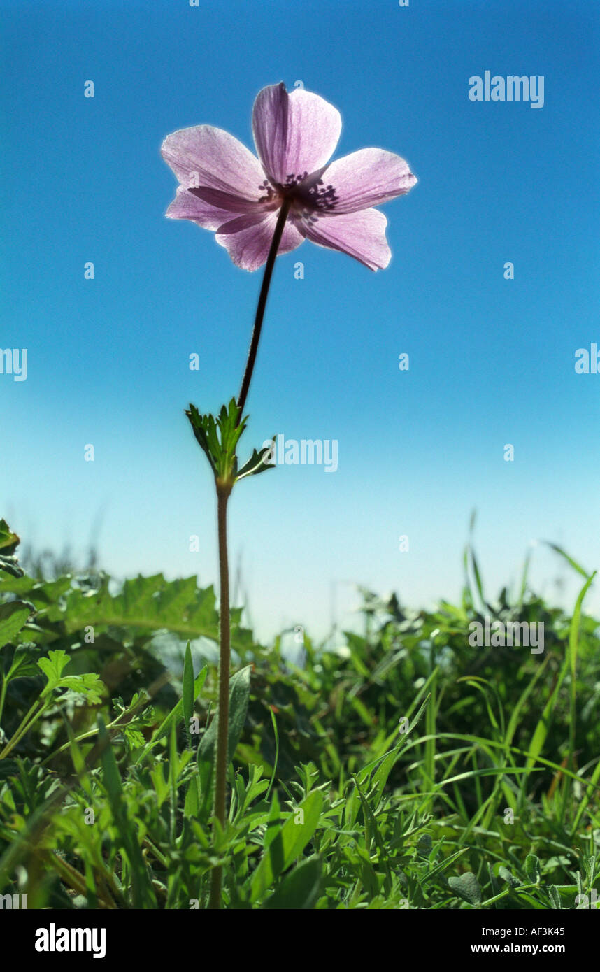One of the anemones which flower prolificly on the hills fields and roadsides on Cyprus in February - Stock Image