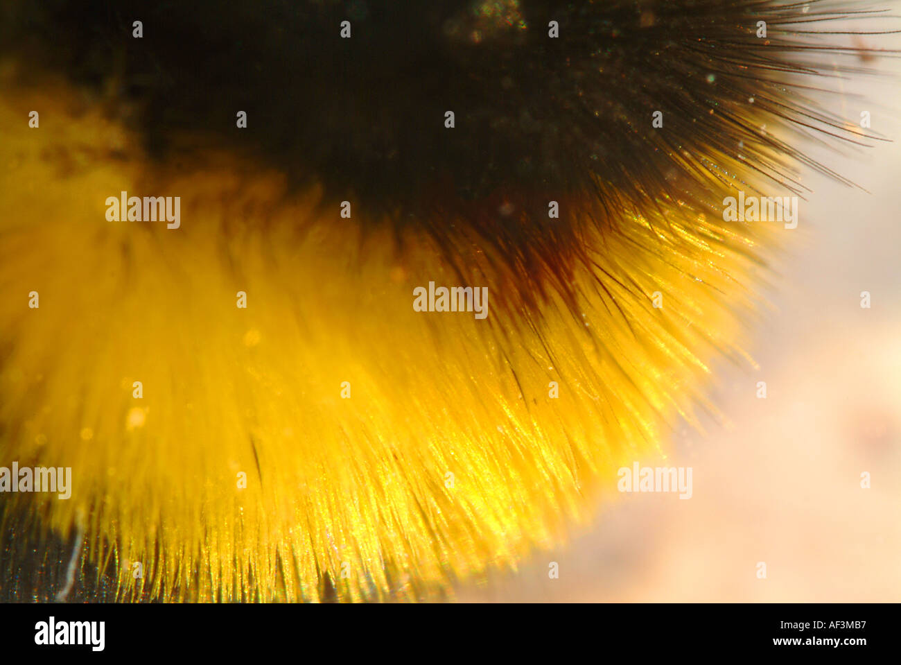 Extreme macro shot of the coat texture of a common british bumble bee - Stock Image