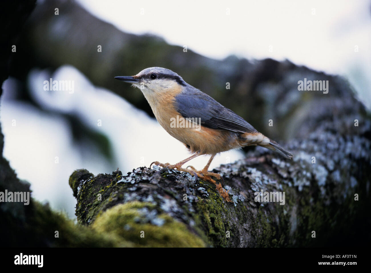 Nuthatch (Sitta europaea) standing on mossy branch - Stock Image