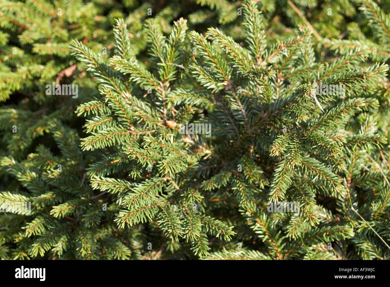 Pinaceae Picea Abies Pumila Nigra Stock Photo 7898603 Alamy