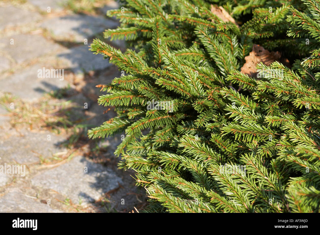 Pinaceae Picea Abies Pumila Nigra Stock Photo 7898604 Alamy