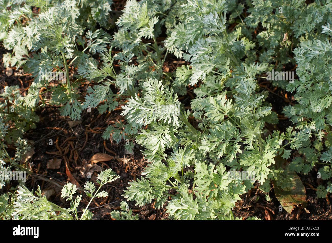 Asteraceae  Artemisia absinthium  Absinth Wormwood Stock Photo