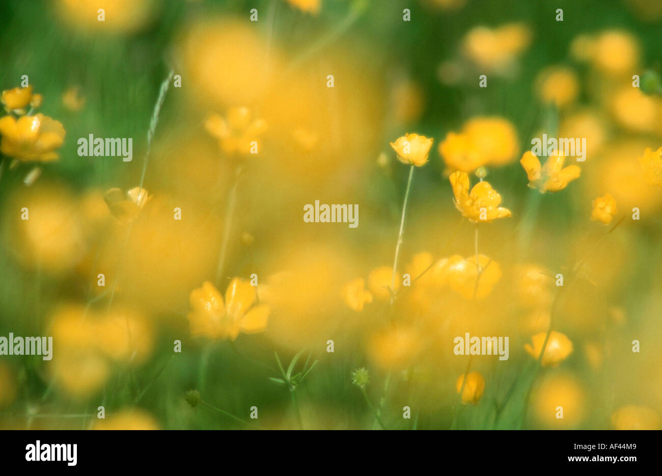 Buttercups, Dalarna, Sweden / (Ranunculus spec.) - Stock Image
