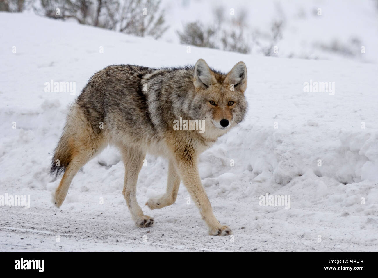 Coyote running down a road Stock Photo: 7901955 - Alamy  Coyote running ...