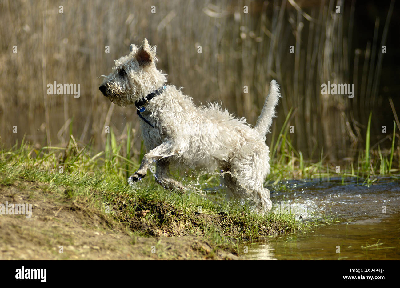 Poodle mongrel jumping on a pond's edge - Stock Image