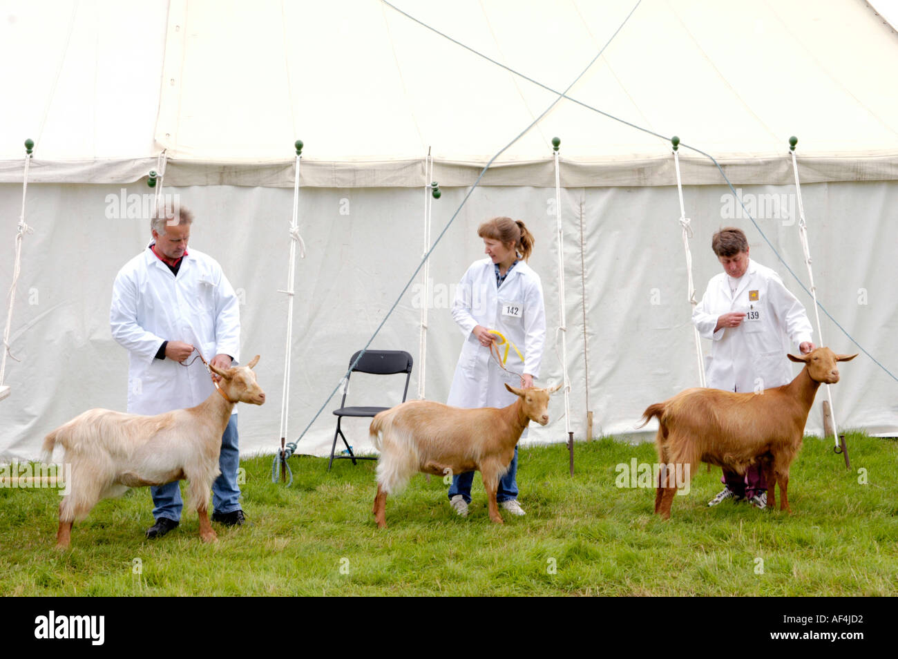 Showing goats at Brecknockshire Agricultural Society annual show in its 250th year in the market town of Brecon Powys Wales UK - Stock Image