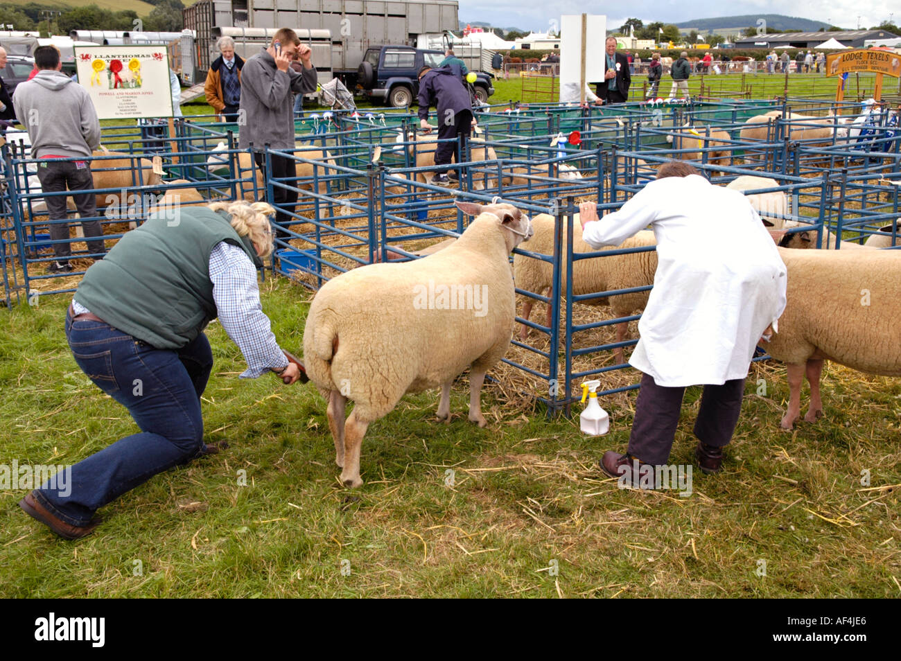 Preparing sheep for judging at Brecknockshire Agricultural Society annual show in its 250th year in the market town of Brecon UK - Stock Image