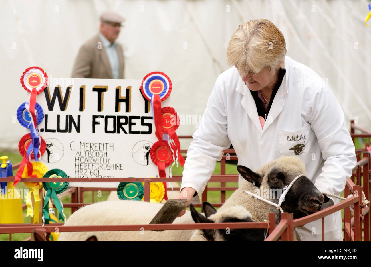 Grooming Clun Forest sheep at Brecknockshire Agricultural Society annual show in its 250th year in the market town of Brecon - Stock Image