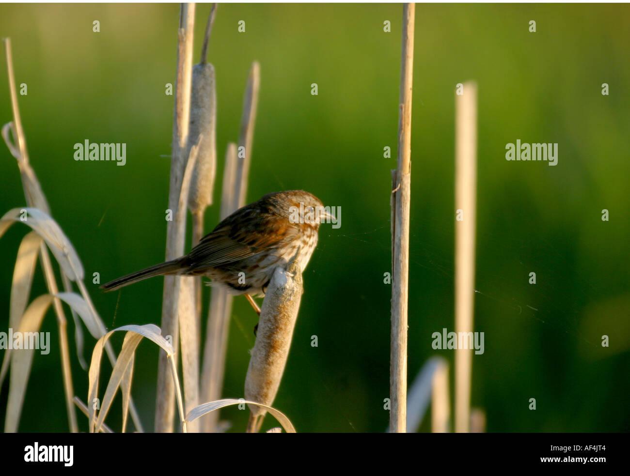 Birds of North America, Alberta Canada, song sparrow