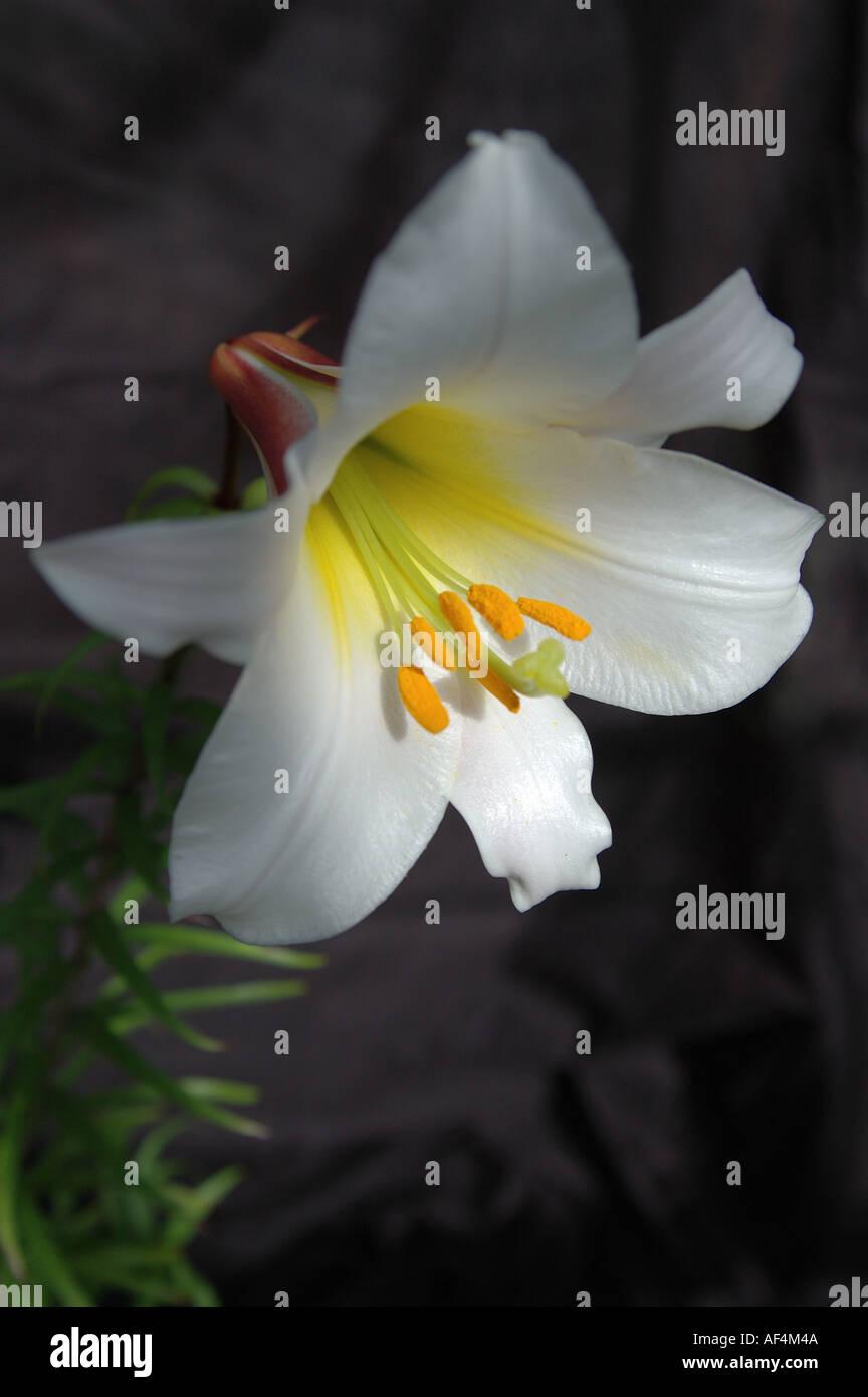 Regel lily Lilium regale  - Stock Image