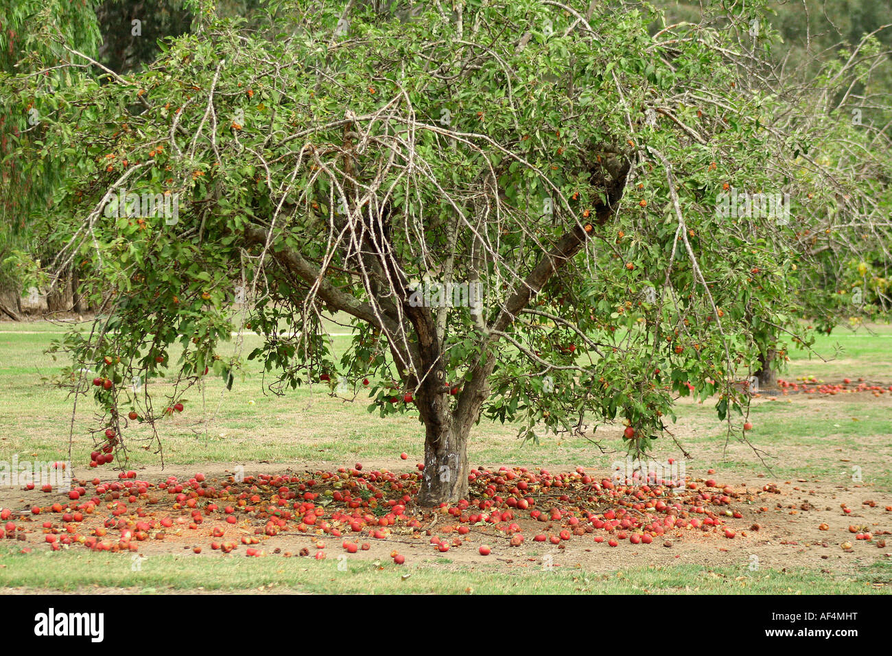 Apples Falling From The Tree