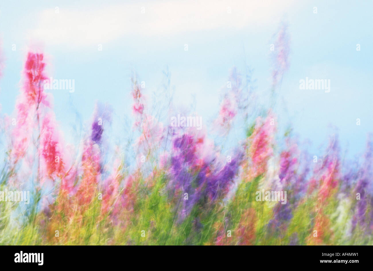Colourful larkspur moved by the wind in Provence France - Stock Image