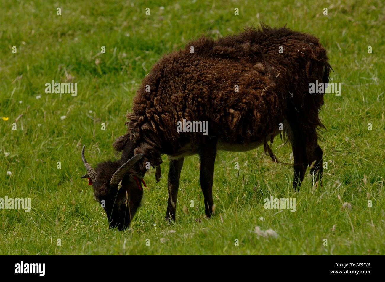 Soay sheep. Saint Kilda Island Western Islands Outer Herbrides Scotland - Stock Image