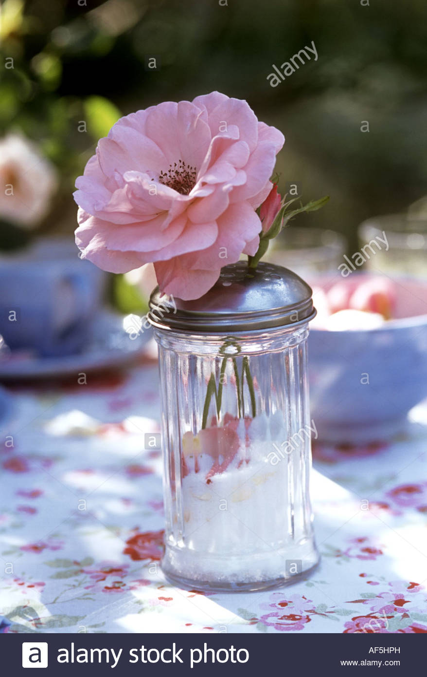 Full-blown rose in a sugar sifter - Stock Image