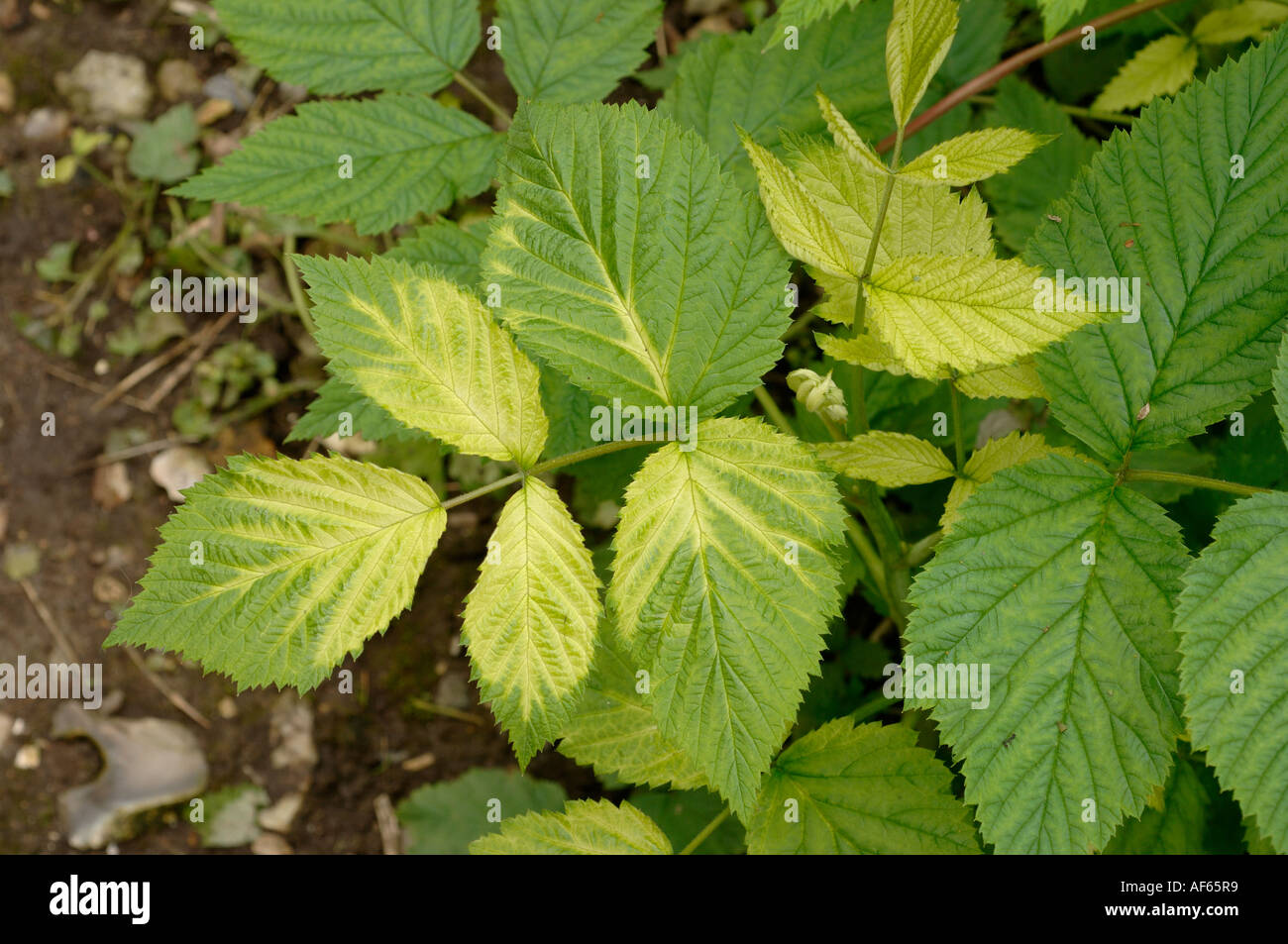 how to fix interveinal chlorosis weed