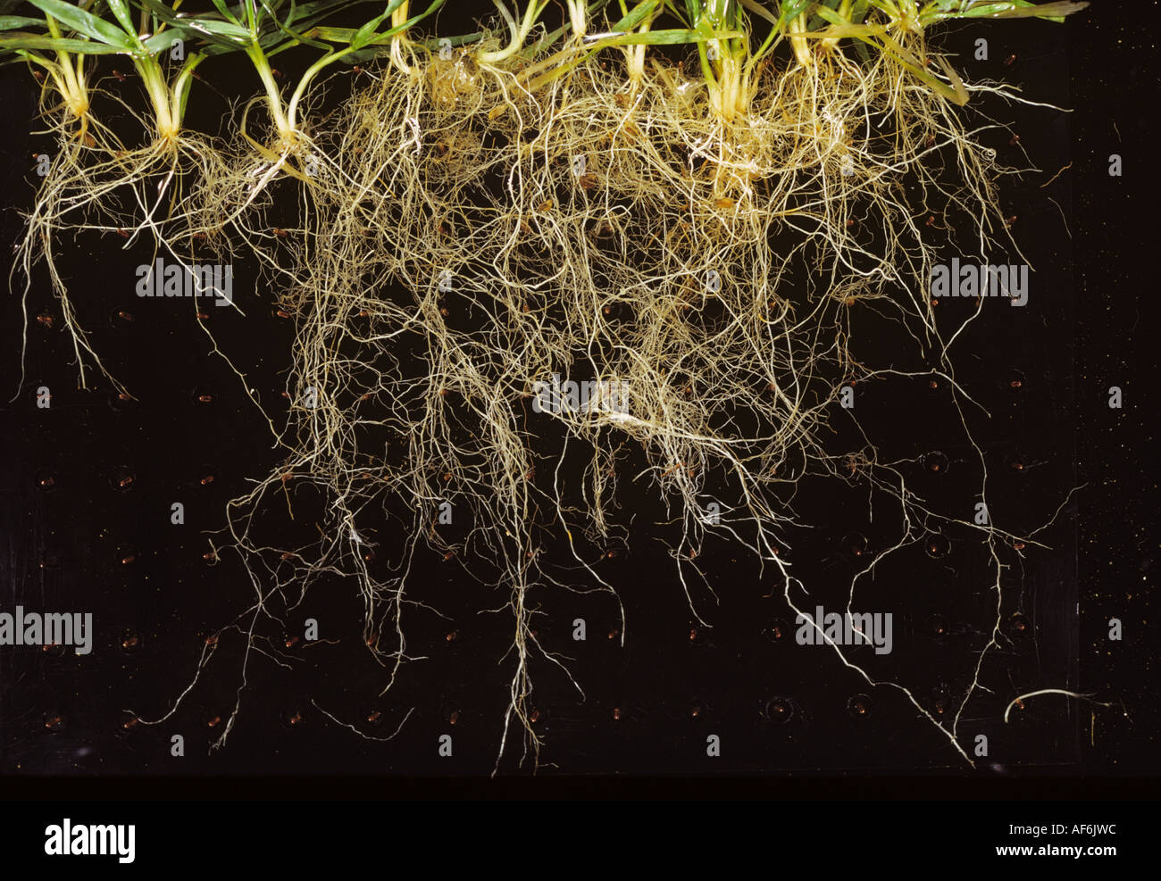 Sampled winter wheat seedling roots establishing after direct drilling the crop - Stock Image