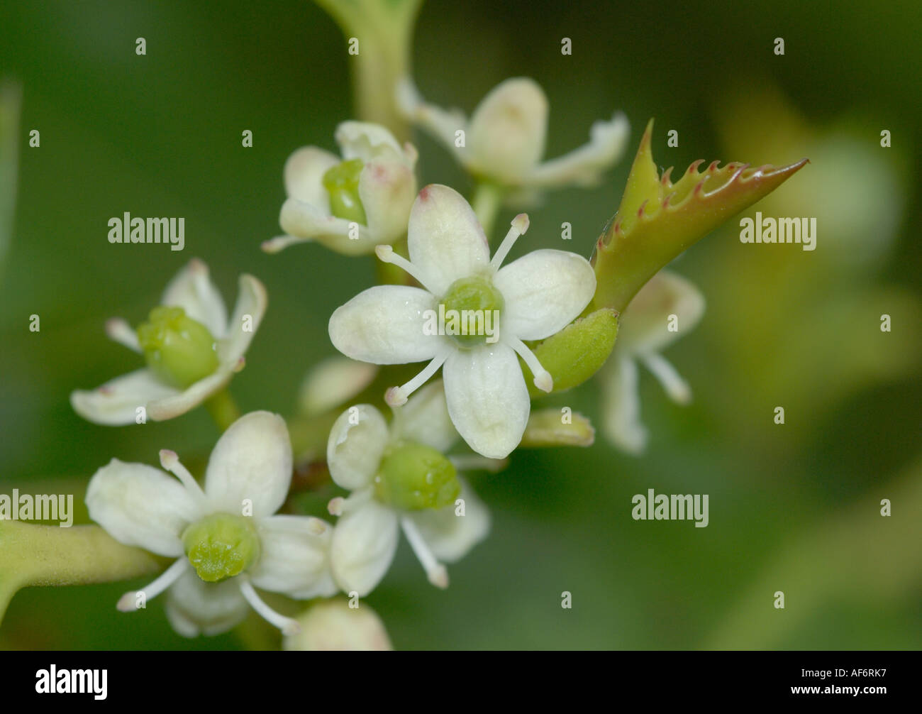 Close up of female flowers the the holly tree Stock Photo