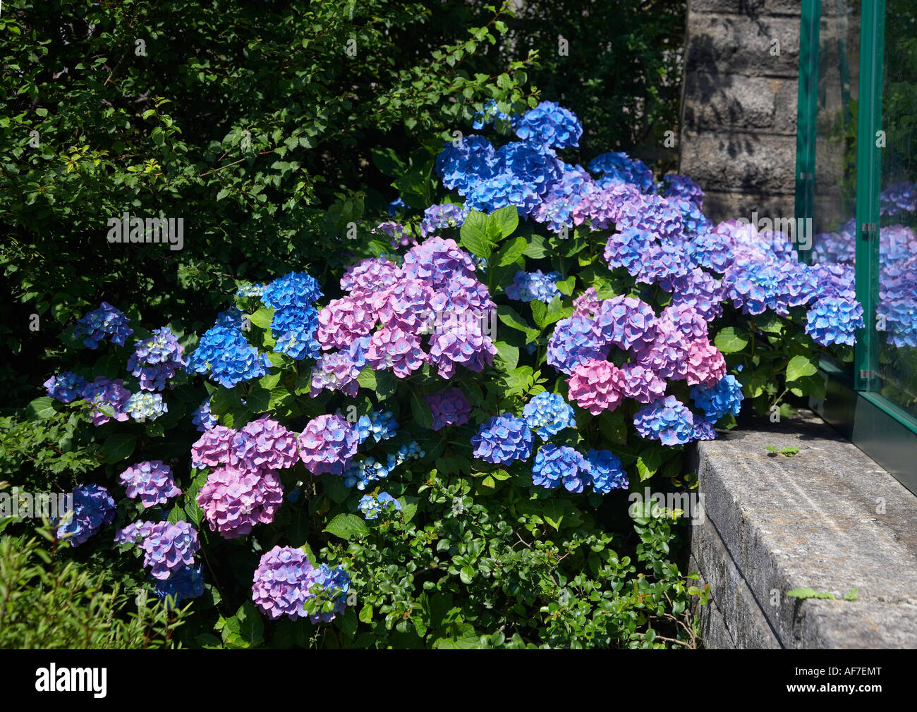 Hydrangea, Blue and Pink - Stock Image