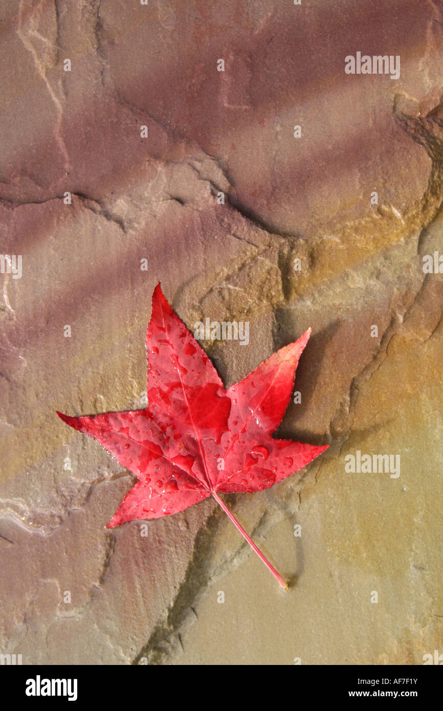 red maple leaf - Stock Image