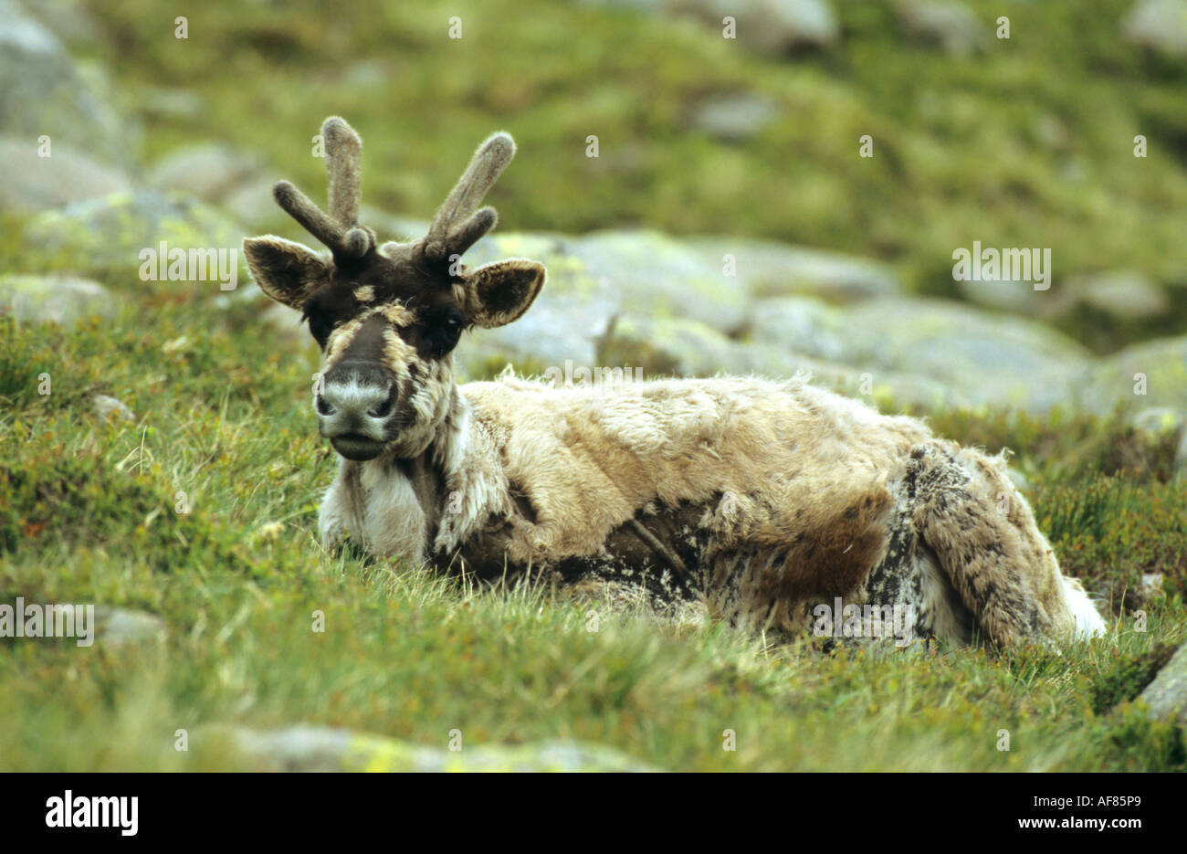 Reindeer Rangifer terandus lying on a hillside and looking directly at the camera lens Stock Photo