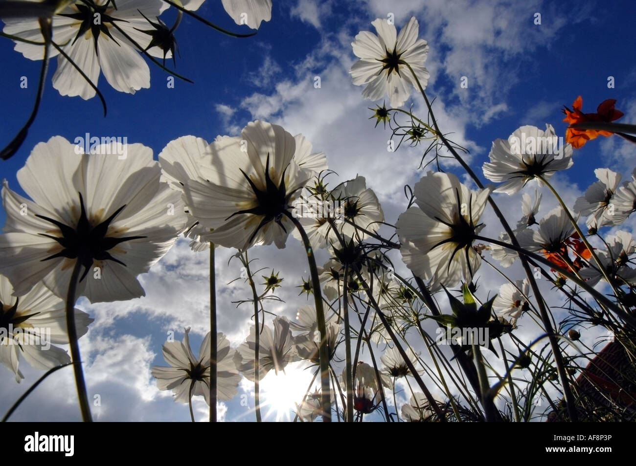 Clouds of white cosmos flowers in an English country garden in summer - Stock Image