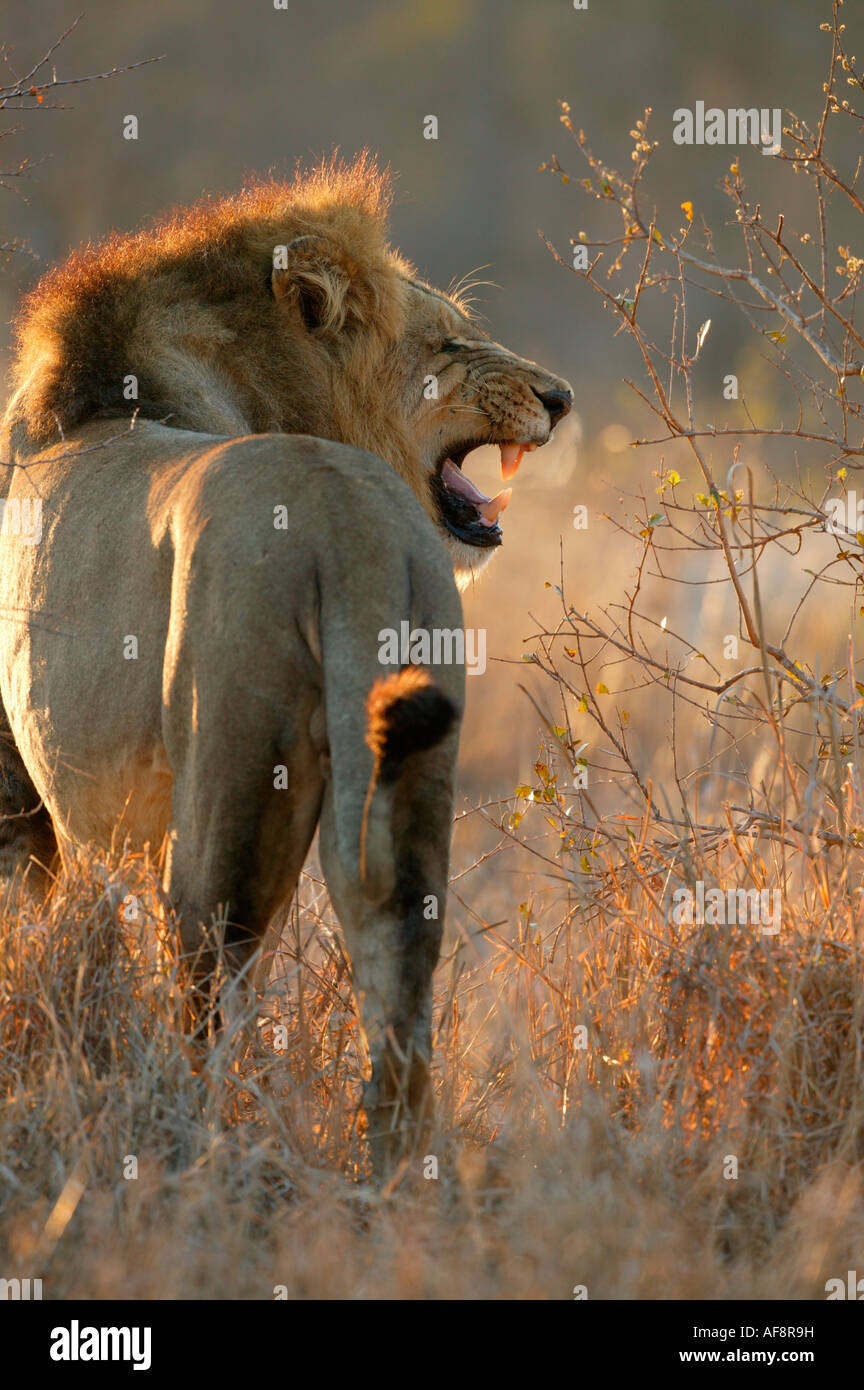 Rear view of dark maned male lion in flehmen with steam coming from his mouth on a cold morning ; South Africa - Stock Image