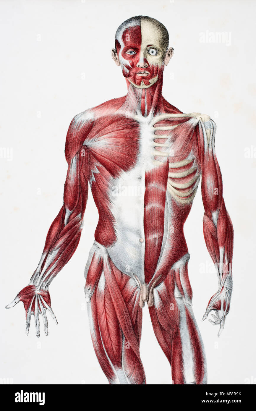 Front Of The Male Human Body Showing Muscles Sinews And Bones Stock