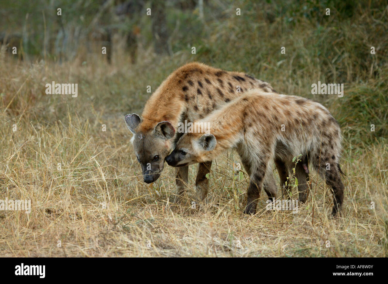 Clan members of a Spotted hyaena pack interact with one another - Stock Image