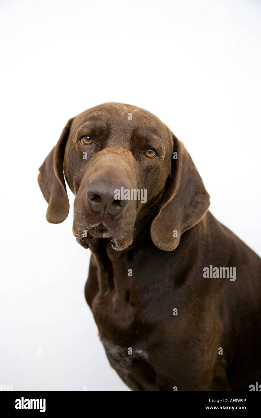 A German Shorthaired Pointer. - Stock Image