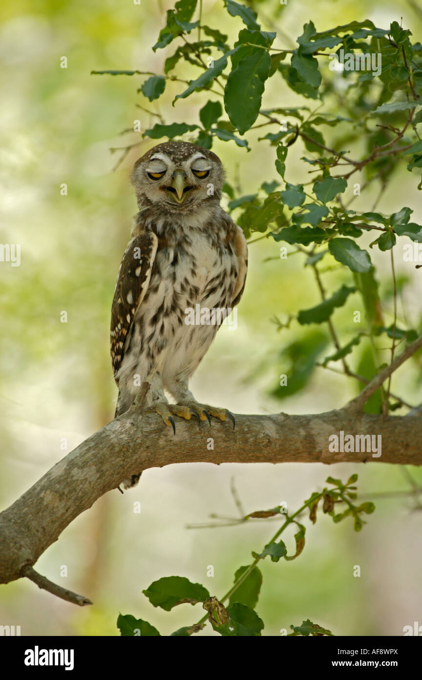 Pearl-spotted owlet fluttering its eyelids - Stock Image