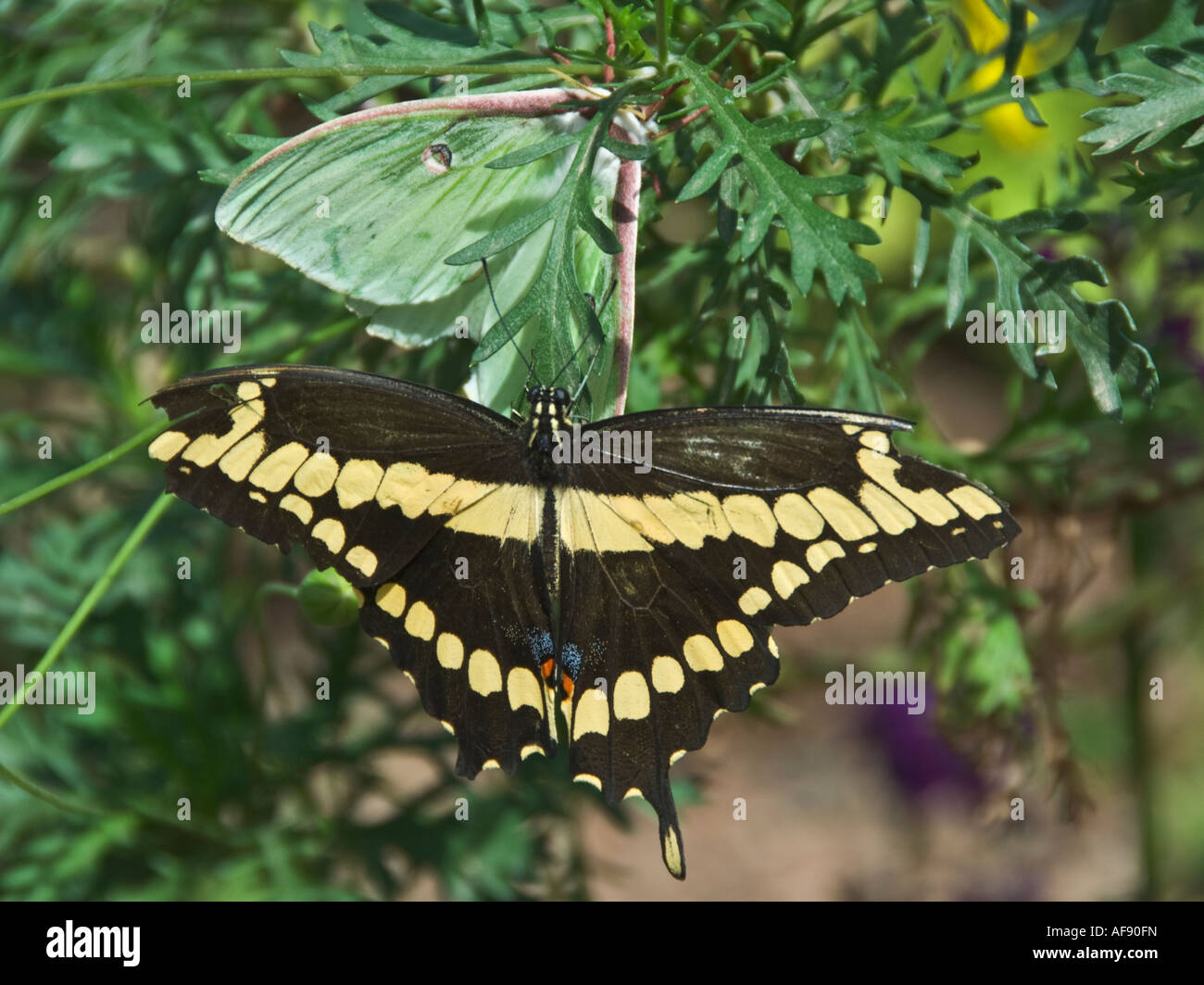 Exceptionnel Arizona Phoenix Desert Botanical Garden Butterfly Garden Green One Is  Nocturnal Lunar Moth