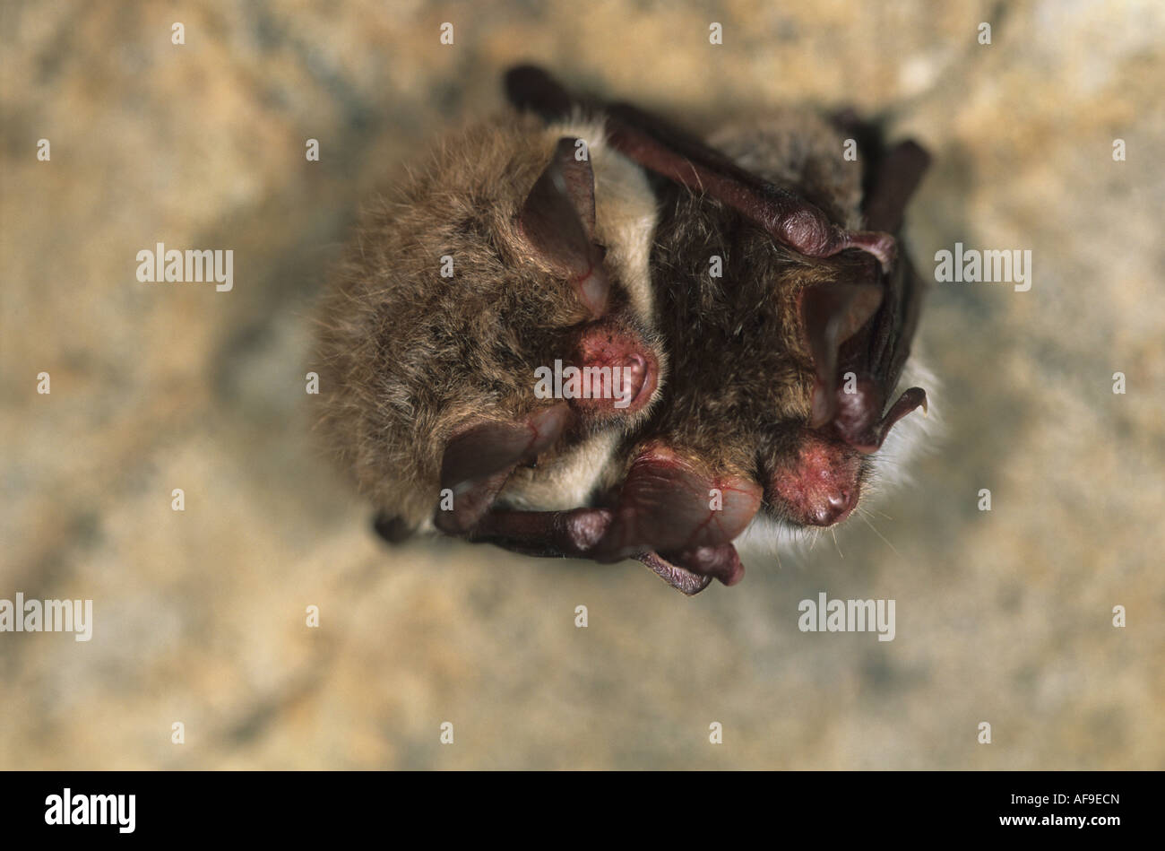 two hibernating Bechstein's bats in a disused bunker. - Stock Image