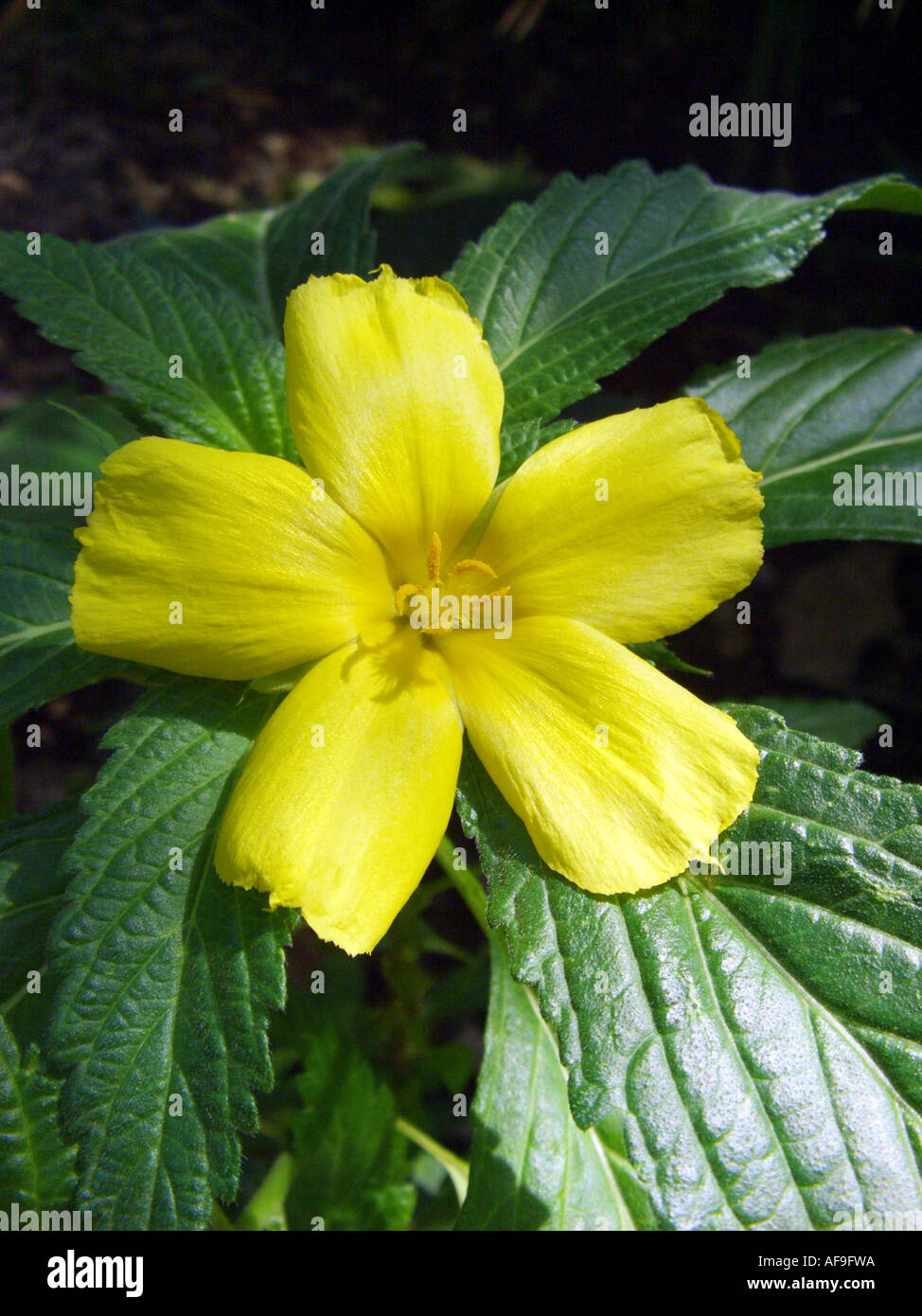 Sage Rose West Indian Holly Yellow Alder Buttercup Flower