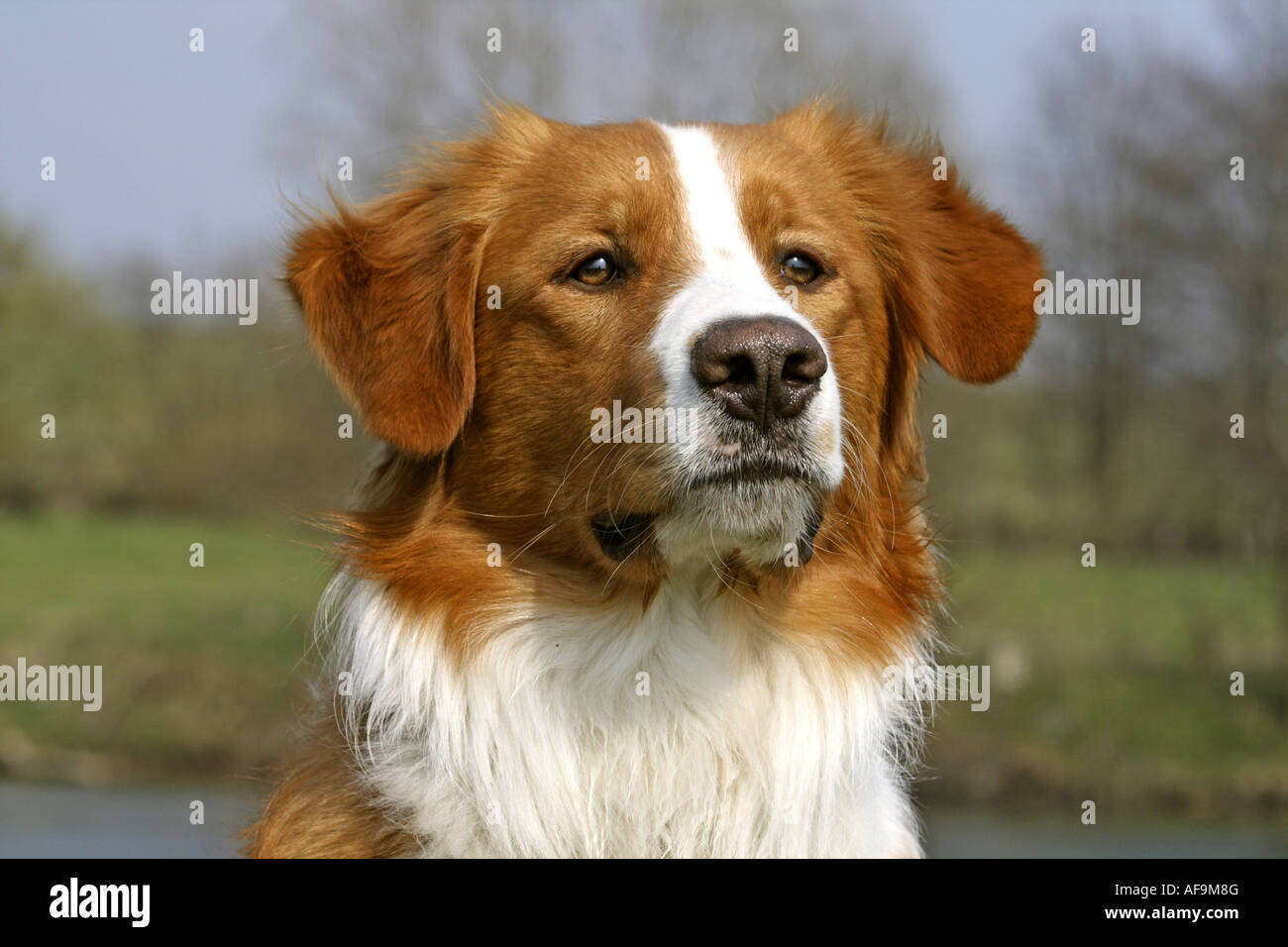 Mixed Breed Dog Canis Lupus F Familiaris Leonberger Golden Stock