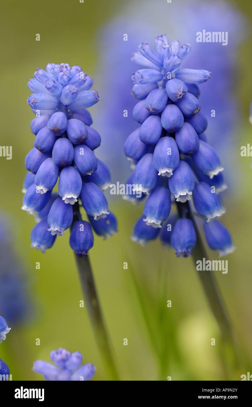 grape hyachinth (Muscari spec.), two inflorescenses Stock Photo