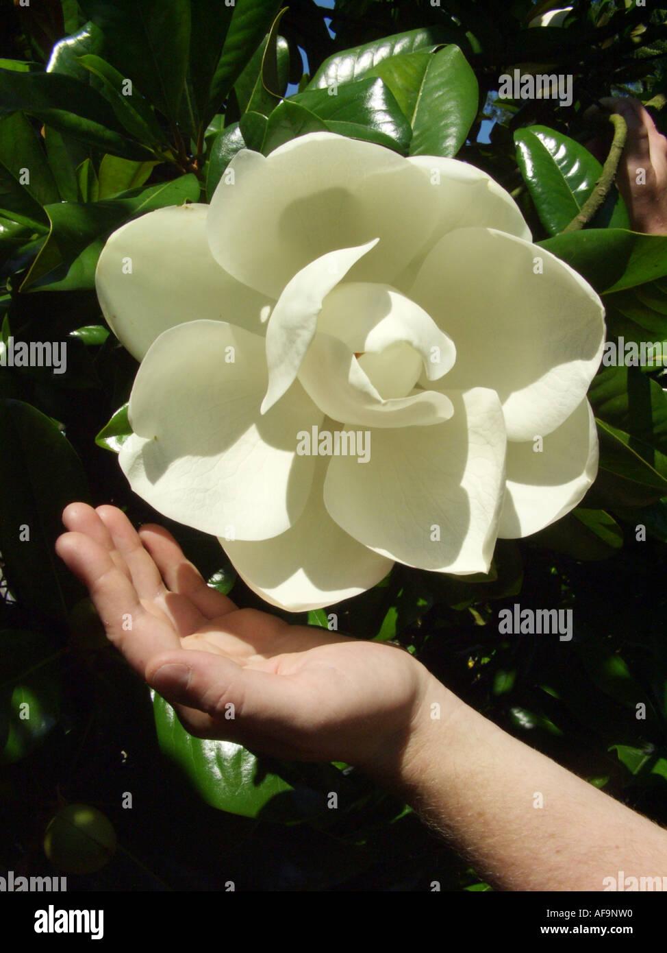 Southern Magnolia Bull Ray Evergreen Magnolia Magnolia Stock