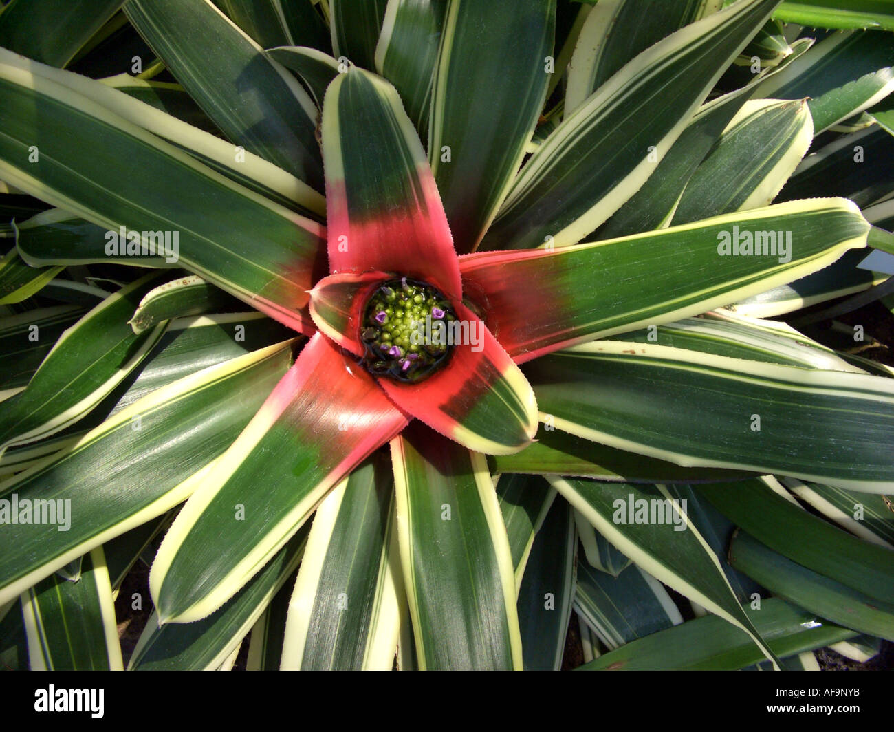 Neoregelia carolinae (Neoregelia carolinae Tricolor), top view at blooming plant Stock Photo