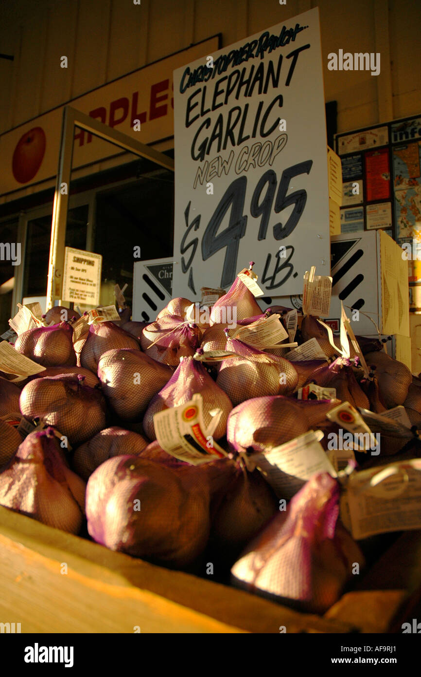 Piles and piles of 'elephant garlic' on sale in Gilroy, California, famous garlic capital - Stock Image