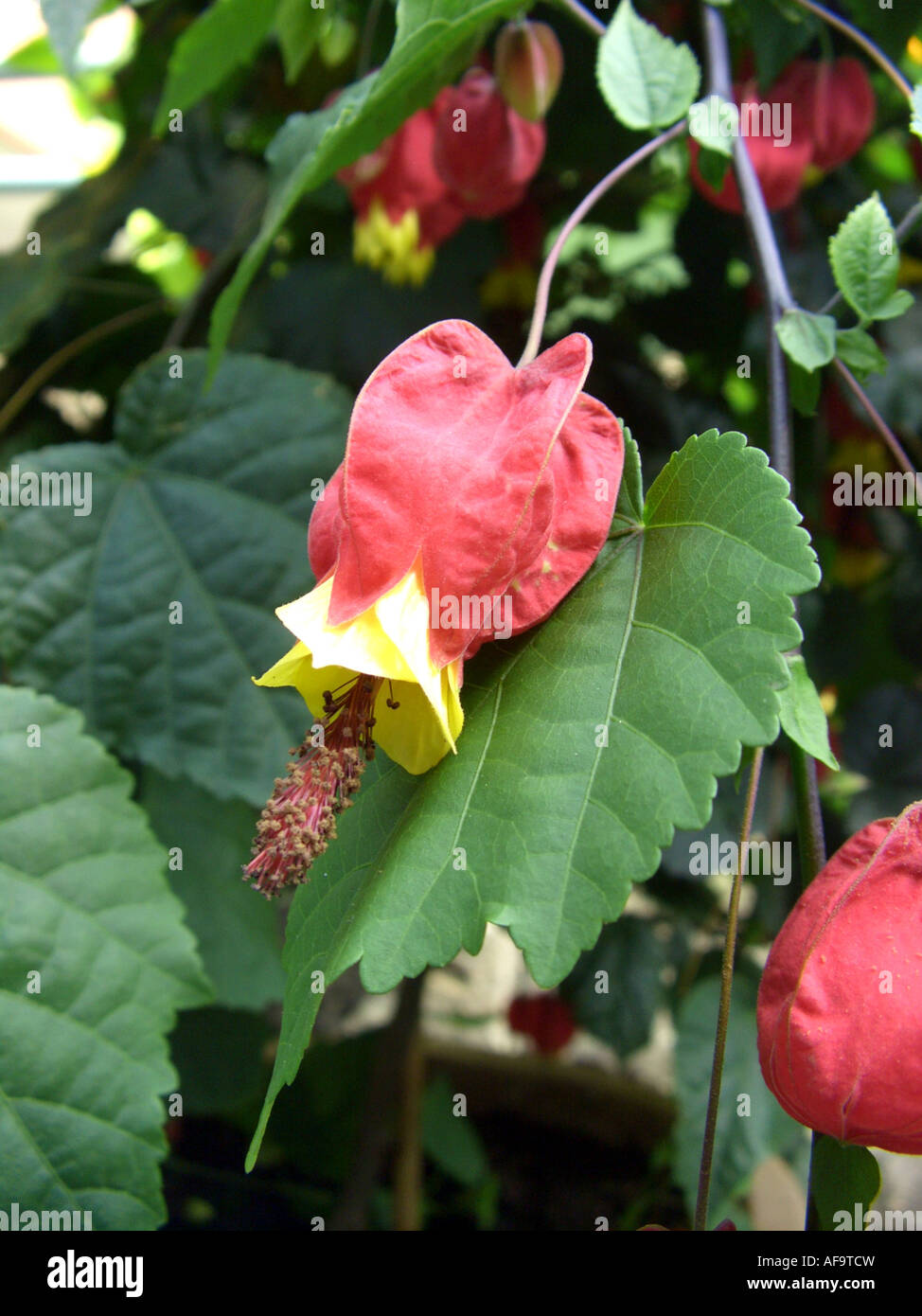 Trailing Abutilon Abutilon Megapotamicum Flower Stock Photo