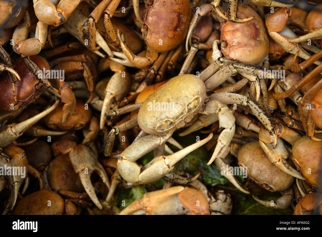 Live crab for sale at Potters Cay, Nassau, New Providence