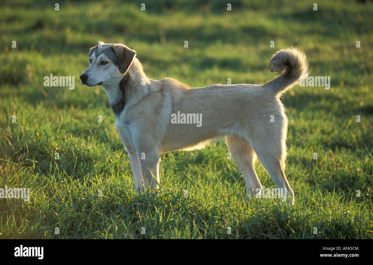 Kangal Dog Stock Photos & Kangal Dog Stock Images - Alamy