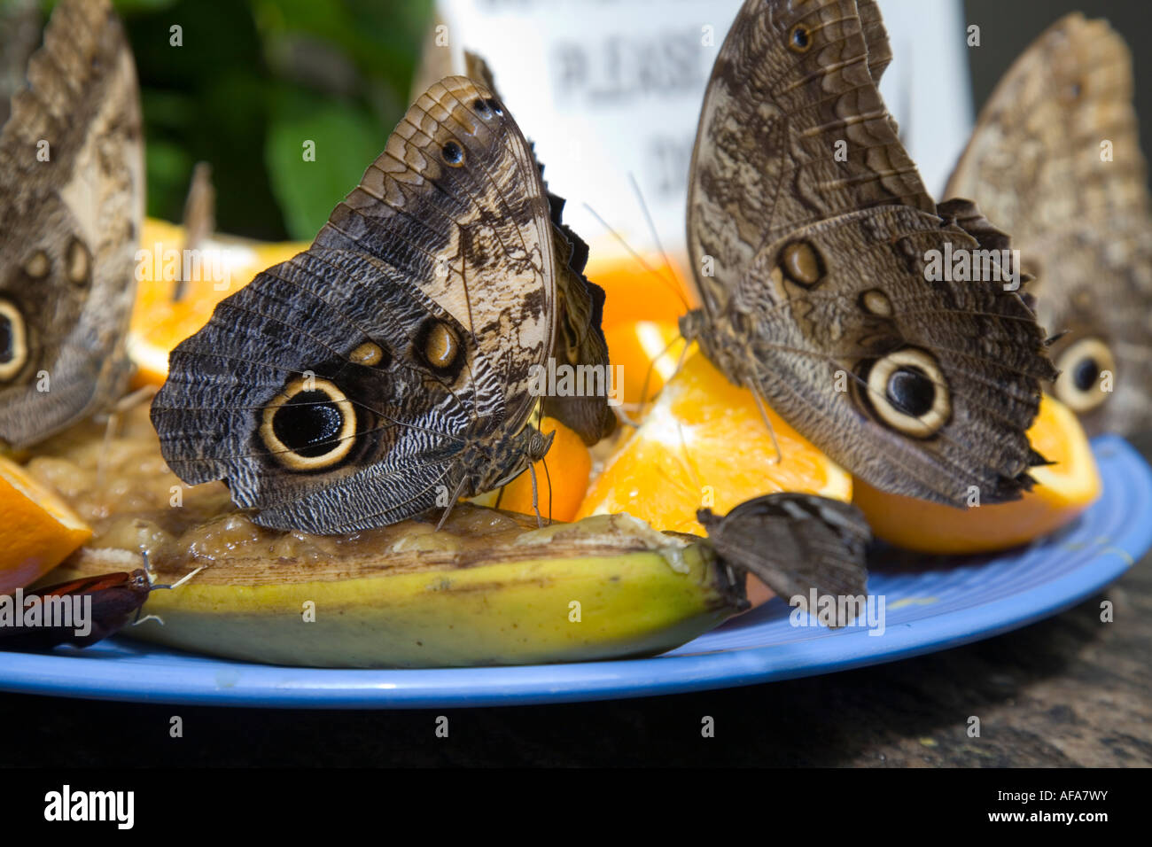 Feeding Butterfly Amazing Butterfly from all over the World feeding - Stock Image