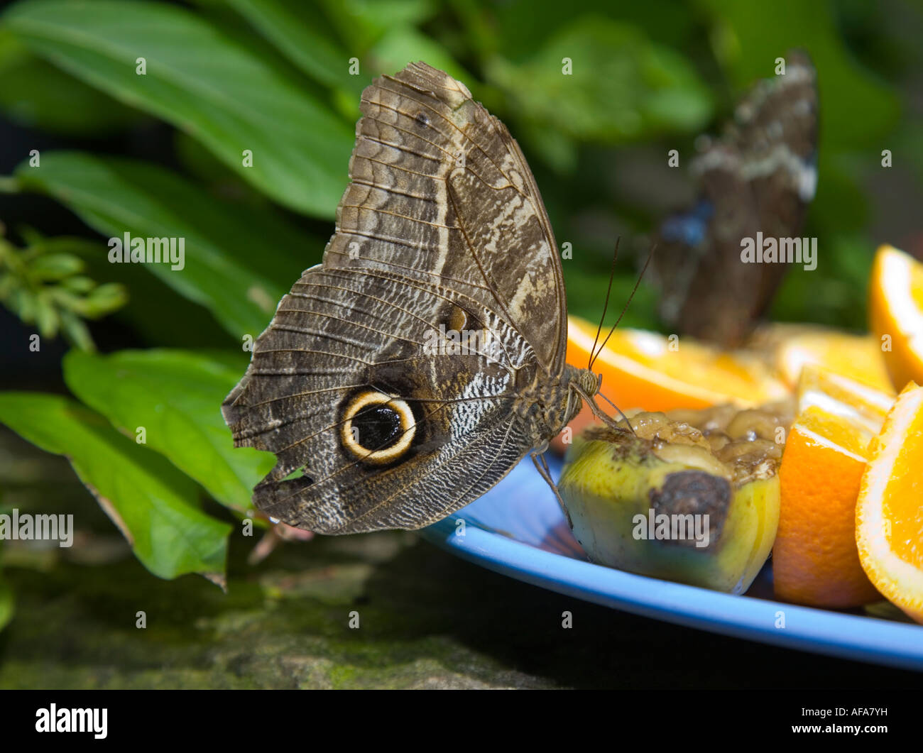 Feeding Butterfly Amazing Butterfly from all over the World - Stock Image