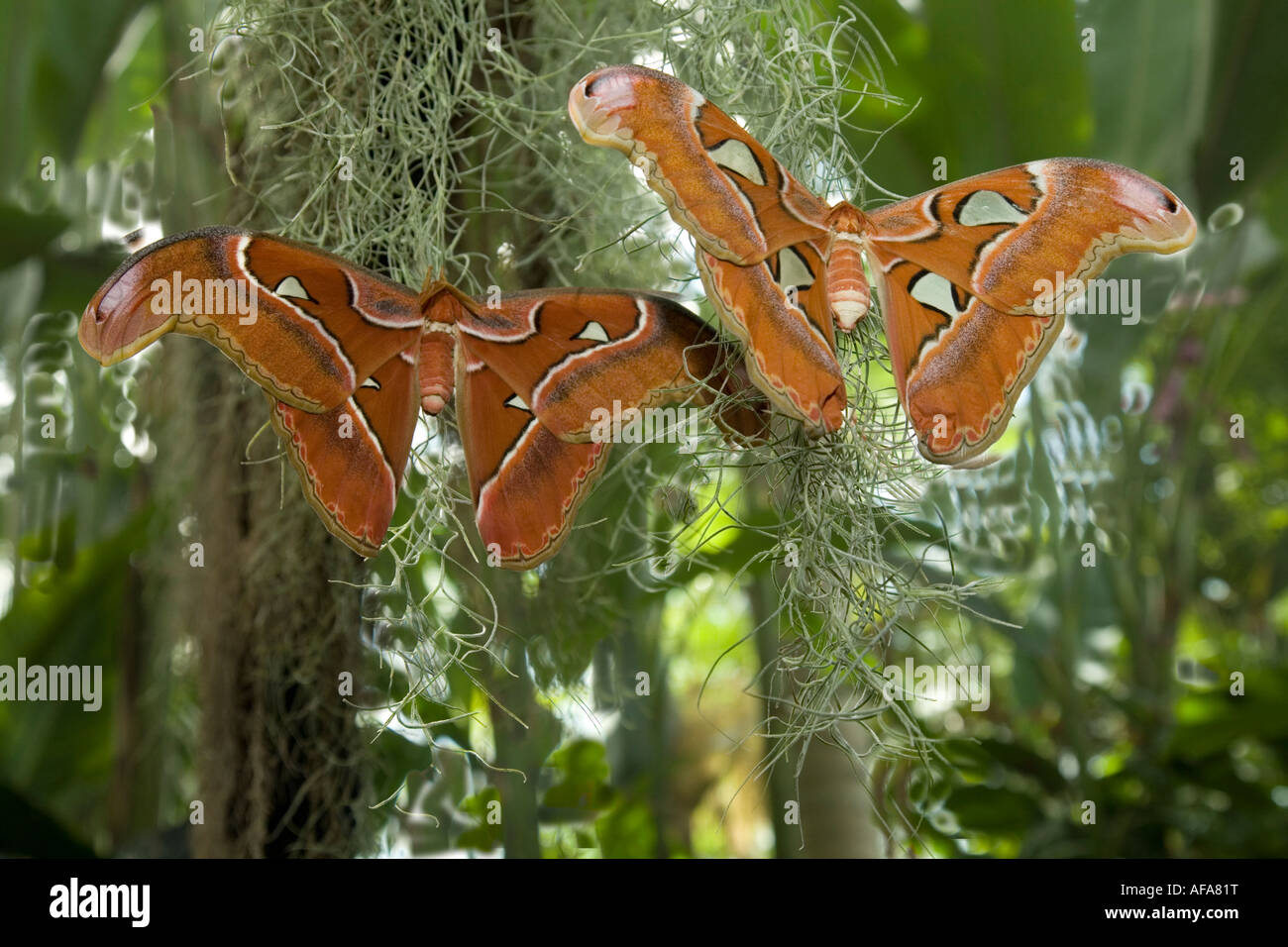 Atlas Moth Attacus Atlas Amazing Butterfly from all over the World - Stock Image