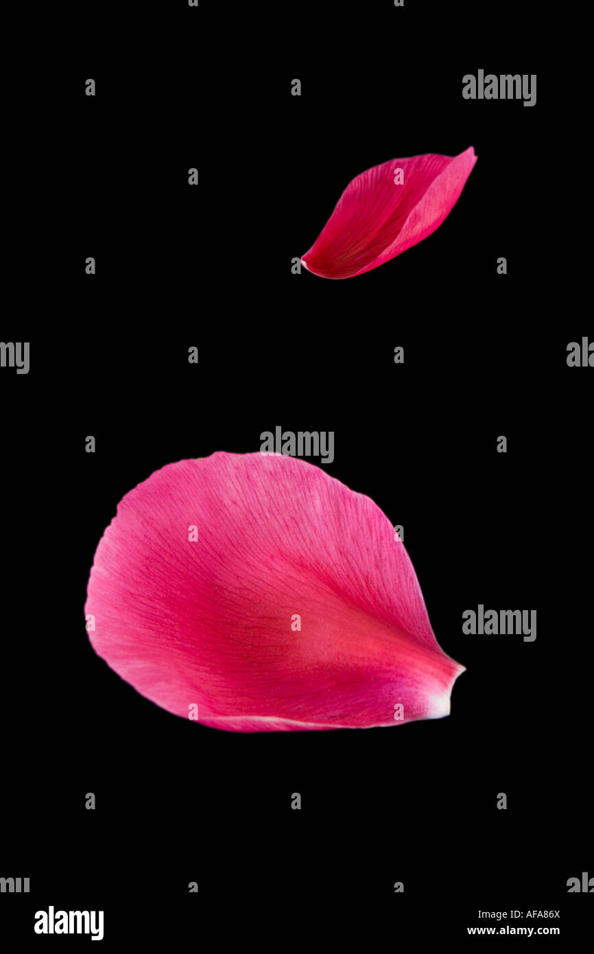 Pink petals isolated on black - Stock Image