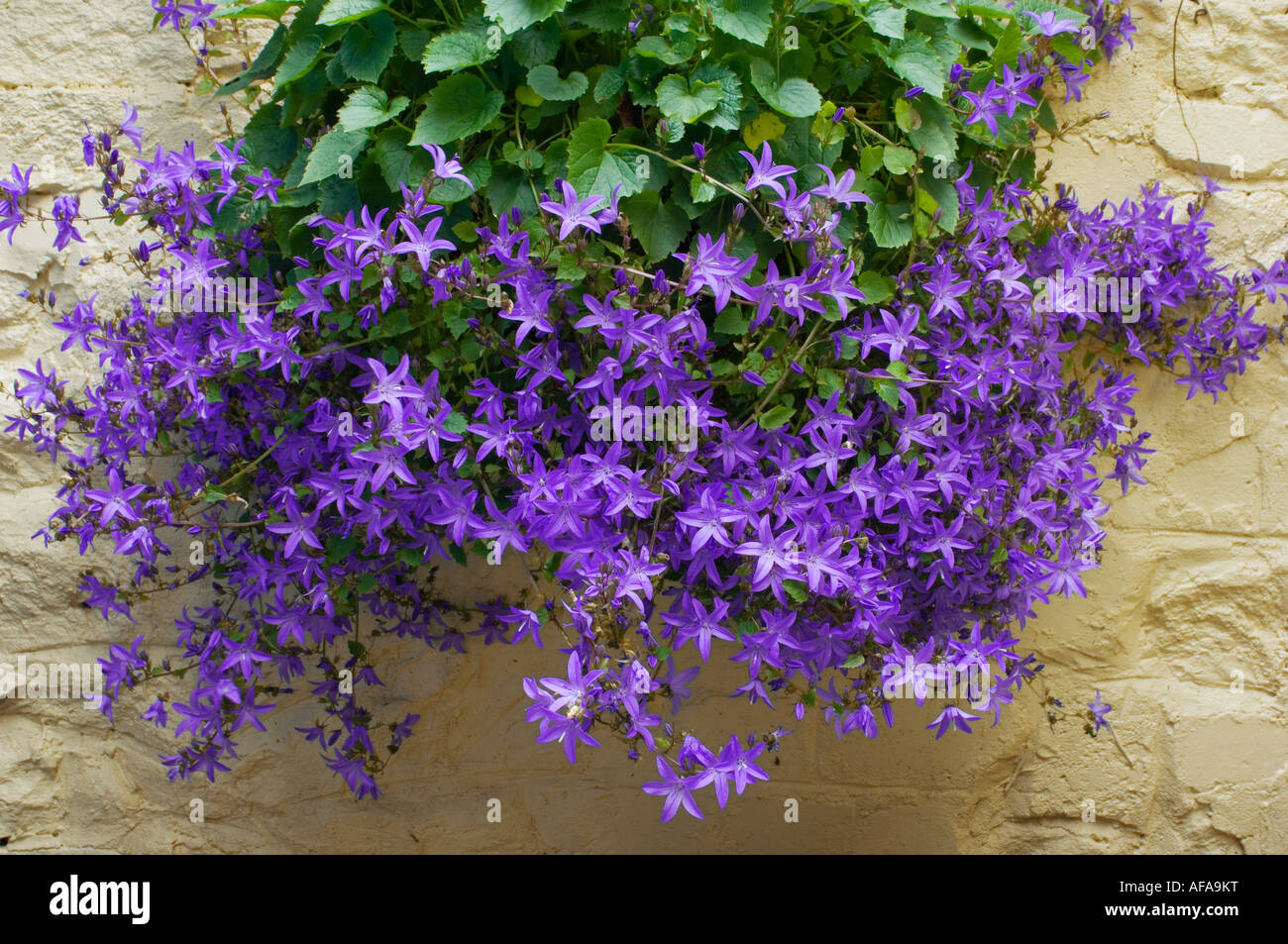 Wall Hanging Basket With Green Foliage And Pretty Purple Flowers